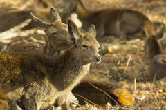 Red Deer Kiss. Mother Red Deer grooming Calf in Richmond Park, London, UK Stock Photography
