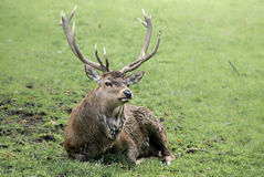 Red deer (lat. Cervus elaphus) Royalty Free Stock Photos