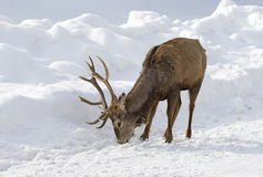 Red deer licking road salt in the winter royalty free stock photo