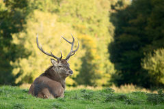 Red deer looking into the camera. Red deer taking rest in shadow Stock Images