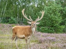 Red deer looking out for predators. A cautious red deer (Cervus elaphus) holds up its neck to look for predators Stock Images