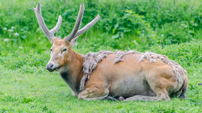 Red deer. Lying down on the grass stock photo