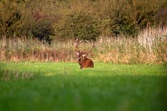 Red deer lying in the grass Stock Images