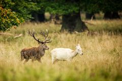 Red deer in maedow. Red Deer into forest at autumn Royalty Free Stock Images