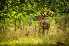 Red deer in maedow. Red Deer into forest at autumn Royalty Free Stock Photo