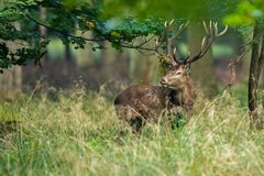 Red deer in maedow. Red Deer into forest at autumn Royalty Free Stock Photography