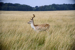 Red deer. A magnificent red deer in Ireland Royalty Free Stock Images