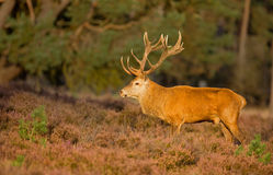 Red deer male Stock Images