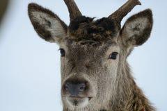 Red deer male head portrait, winter. Cervus elaphus Royalty Free Stock Photos