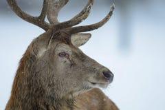 Red deer male head portrait, winter. Cervus elaphus Stock Photography