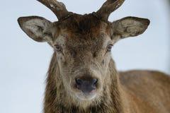 Red deer male head portrait, winter. Cervus elaphus Royalty Free Stock Image