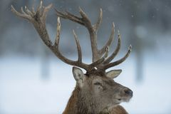 Red deer male head portrait, winter. Cervus elaphus Stock Photography
