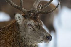 Red deer male head portrait, winter. Germany, cervus elaphus Royalty Free Stock Images