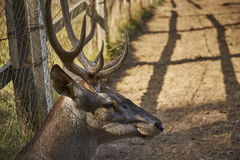 Red deer male head Stock Photography