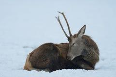 Red deer male lie in the snow, winter. Cervus elaphus Stock Photography