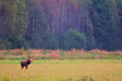 Red deer. Male at sunset. Animal Stock Photography