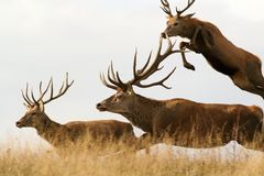 Red deer males running together Stock Photography
