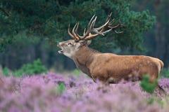 Red deer during mating season. A Red deer shouting during mating season Stock Photo