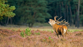 Red deer in mating season Royalty Free Stock Photos