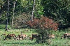 Red deer in mating season Royalty Free Stock Photos