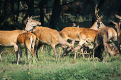Red deer in mating season Royalty Free Stock Photography