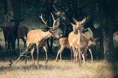 Red deer in mating season Stock Photos