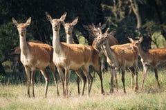 Red deer in mating season Stock Photo