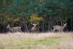 Red deer in mating season Stock Photography