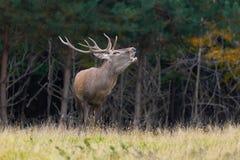 Red deer in mating season Stock Images