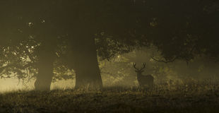 Red deer in a misty morning Royalty Free Stock Image