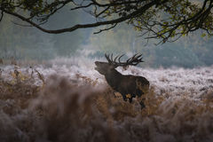 Red deer in a misty morning royalty free stock photos