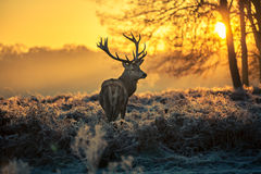 Red deer. In the morning sun Royalty Free Stock Photo