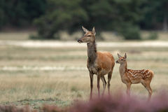 Red deer mother and calf Stock Photo