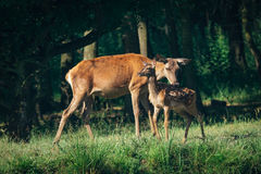 Red Deer mother and calf Royalty Free Stock Images