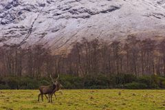 Red deer in natural environment Stock Photos