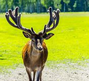 Red deer in nature conservation reserve, Europe. The photo was taken in in nature conservation reserve park, Europe royalty free stock image