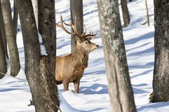 Red deer in nature Stock Image