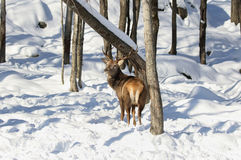 Red deer in nature Stock Images