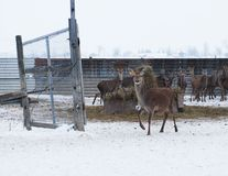 Red Deer. New Zealand red deer on an Ontario farm in winter Royalty Free Stock Photo