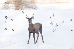 Free Red Deer On Snow Royalty Free Stock Photo - 48502795