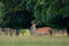Red Deer. In park The Hoge Veluwe in Holland royalty free stock image
