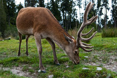 Red Deer picking grass Royalty Free Stock Image
