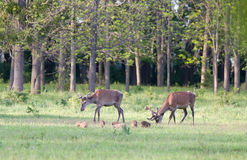 Red deer and piglets Stock Photo