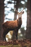 Red deer with pointed antlers in autumn forest. North Rhine-Westphalia, Germany royalty free stock photos