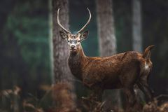 Red deer with pointed antlers in autumn forest. North Rhine-West. Red deer with pointed antlers in an autumn forest. North Rhine-Westphalia, Germany stock images