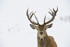 Red deer portrait. Red deer (Cervus elaphus) in winter snow. Head and antler portrait stock photography