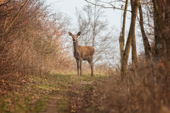 Red deer portrait on the forest Stock Photo
