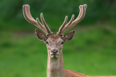 Red deer portrait with fuzzy velvet antler. In forest royalty free stock images