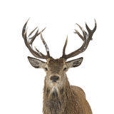 Red deer portrait. Red deer head and antler portrait isolated on white Stock Images