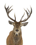 Red deer portrait. Isolated on white Royalty Free Stock Photos